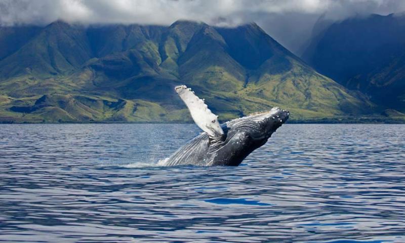 Whale%20Hawaii